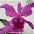 Cattleya Labiata Tipo - Imagem 1