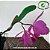 Cattleya Labiata Tipo - Imagem 3