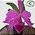 Cattleya Labiata Tipo - Imagem 2