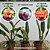 Kit 3 Cattleyas - Lc. Tenebrosa x Lc. Lisa Ann, Blc. Chian TZY Lass, Lc. Lisa Ann x Blc. Chunyeah - Imagem 1