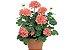 30 Sementes de Gerânio Pelargonium Sortido - Imagem 1
