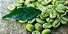 EXTRATO DE CAFÉ VERDE PURA GREEN COFFEE 500MG 60 CÁPSULAS - FAUNA E FLORA - Imagem 2