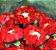 Forminha para Doces Finos - Rosa Maior Vermelha 40 unidades - Decora Doces - Rizzo Festas - Imagem 2
