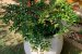Kit para Plantar Frutas em Vasos - Imagem 3