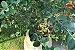 Kit para Plantar Frutas em Vasos - Imagem 5