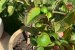 Kit para Plantar Frutas em Vasos - Imagem 7