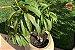 Kit para Plantar Frutas em Vasos - Imagem 4