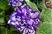 Kit Para Plantar Violetas - Imagem 5