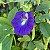 10 Sementes de Ervilha Borboleta Azul - Imagem 4