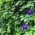 10 Sementes de Ervilha Borboleta Azul - Imagem 6