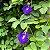 10 Sementes de Ervilha Borboleta Azul - Imagem 2