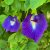 10 Sementes de Ervilha Borboleta Azul - Imagem 8
