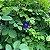 10 Sementes de Ervilha Borboleta Azul - Imagem 10