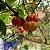 10 Sementes de Pitanga Graúda - Imagem 3