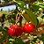 10 Sementes de Pitanga Graúda - Imagem 1