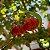 10 Sementes de Pitanga Graúda - Imagem 5