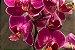 Kit para Plantar Orquídeas - Imagem 4
