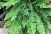Kit Para Plantar Samambaias - Imagem 5