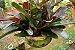 Kit Para Plantar Bromélia - Imagem 4