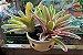 Kit Para Plantar Bromélia - Imagem 6