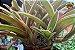 Kit Para Plantar Bromélia - Imagem 7