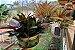 Kit Para Plantar Bromélia - Imagem 3