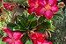 Kit Para Plantar Rosa do Deserto - Imagem 9