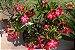 Kit Para Plantar Rosa do Deserto - Imagem 5