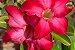 Kit Para Plantar Rosa do Deserto - Imagem 6