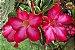 Kit Para Plantar Rosa do Deserto - Imagem 3