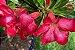 Kit Para Plantar Rosa do Deserto - Imagem 8