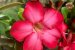 Kit Para Plantar Rosa do Deserto - Imagem 7