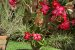 Kit Para Plantar Rosa do Deserto - Imagem 2