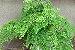 Substrato para Plantar Avencas do Jardineiro Amador - Imagem 8