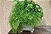 Kit Para Plantar Avencas - Imagem 3