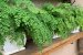 Kit Para Plantar Avencas - Imagem 4