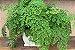 Kit Para Plantar Avencas - Imagem 2