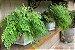 Kit Para Plantar Avencas - Imagem 7