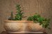 Vaso duplo para Cactos e Suculentas - Imagem 3