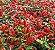 Camarão Vermelho - Caixa com 15 unidades - Imagem 2
