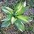 Jogo Com 3 Plantas Artificiais Ornamental Mini Agave 20 Cm Decoração - Imagem 5