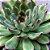 Echeveria Pulidonis - Imagem 3