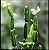 Cissus Quandrangularis - Imagem 2