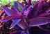 Trapoeraba roxa (Tradescantia pallida purpurea) - Imagem 3