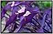 Trapoeraba roxa (Tradescantia pallida purpurea) - Imagem 1