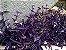 Trapoeraba roxa (Tradescantia pallida purpurea) - Imagem 4