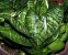 Sansevieria trifasciata var. 'Hahnii' - Imagem 4