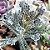 Kalanchoe delagoensis - Mãe de Milhares - Imagem 3