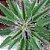 Kalanchoe daigremontiana - Mãe de Milhares - Imagem 2