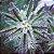 Kalanchoe daigremontiana - Mãe de Milhares - Imagem 3